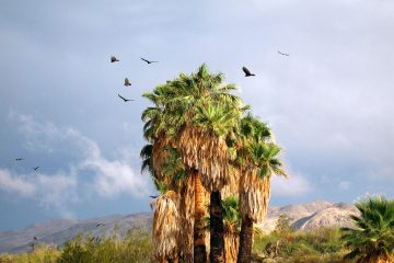 Turkey Vultures at the Oasis of Mara, 29 Palms, California
