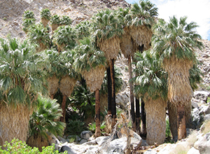 49 Palms Oasis in Joshua Tree National Park