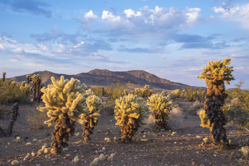 Bigelow Cholla Garden Wilderness, Mojave Trails National Monument