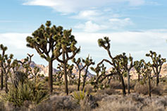 Joshua Tree National Park at Twentynine Palms, CA